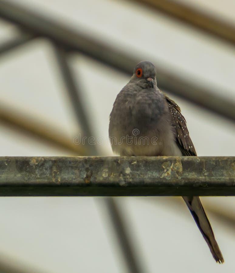 坐在鸟舍的金刚石鸠的特写镜头,从澳大利亚的小热带鸟 图库摄影