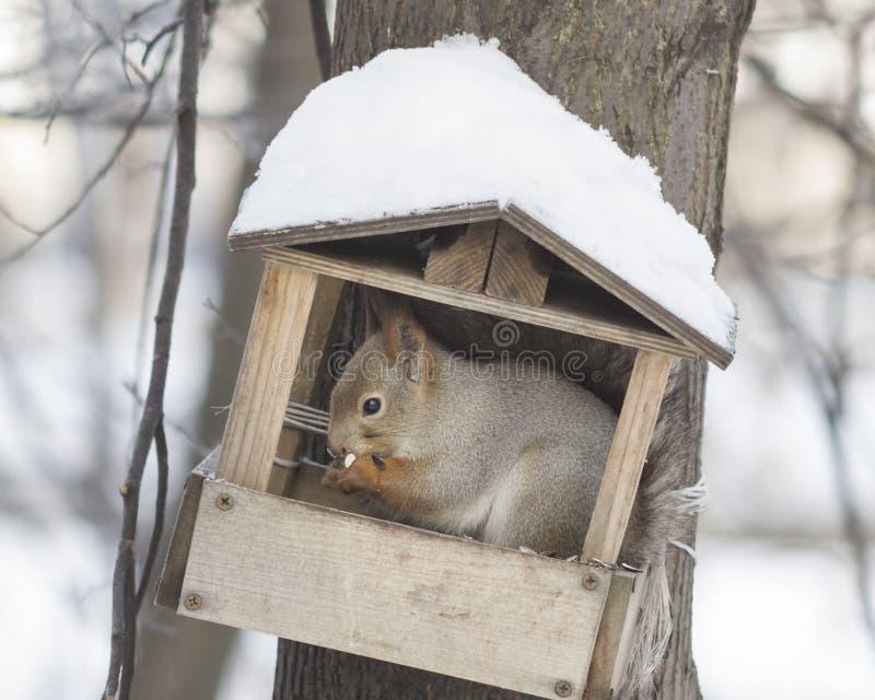 坐在鸟饲养者特写镜头画象,选择聚焦,浅DOF的欧亚红松鼠 库存照片