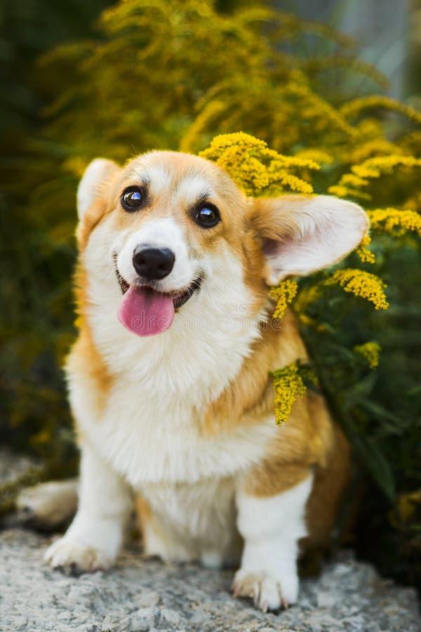 坐在黄色花的滑稽的面孔威尔士小狗彭布罗克角小狗 免版税库存照片