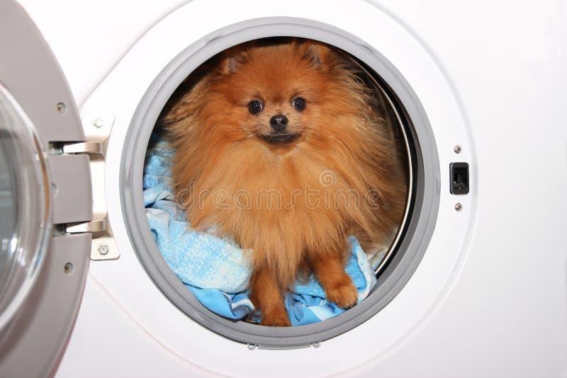坐在洗衣机的狗 在白色背景的Pomeranian橙色波美丝毛狗 洗衣店 库存照片