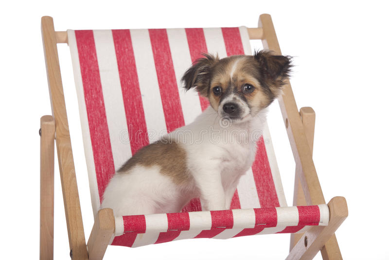 坐在deckchair的奇瓦瓦狗小狗 免版税库存照片