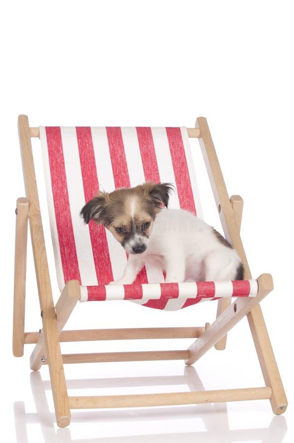 坐在deckchair的奇瓦瓦狗小狗 库存照片