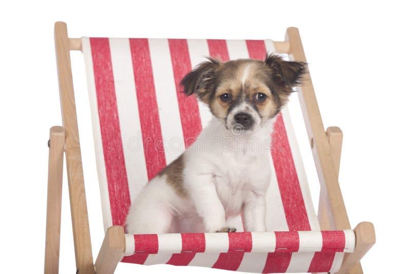 坐在deckchair的奇瓦瓦狗小狗 免版税库存图片