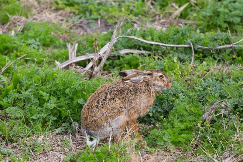 坐在gree的欧洲棕色野兔长耳大野兔天兔座europaeus 免版税图库摄影