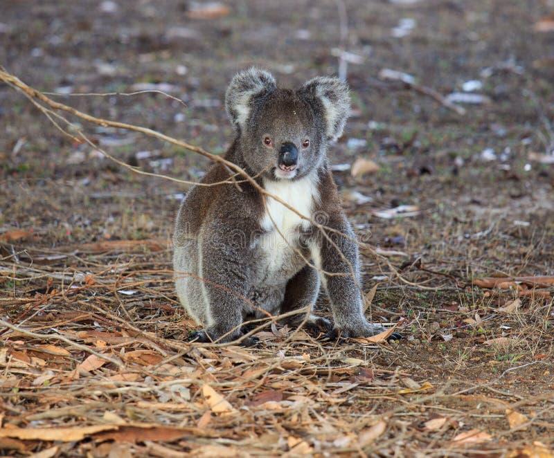 坐地面在玉树森林里和看与求知欲的画象逗人喜爱的矮小的澳大利亚树袋熊 ?? 免版税图库摄影