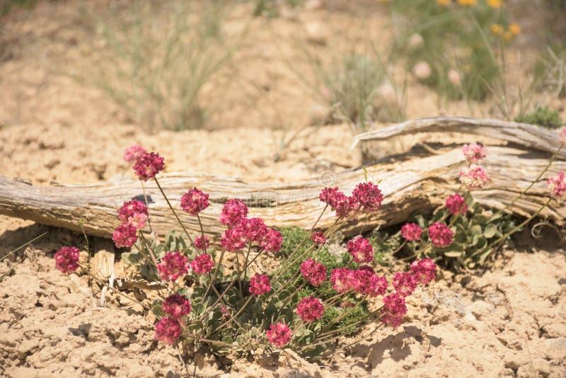 坐垫荞麦Eriogonum ovalifolium生动的桃红色野花 免版税库存图片