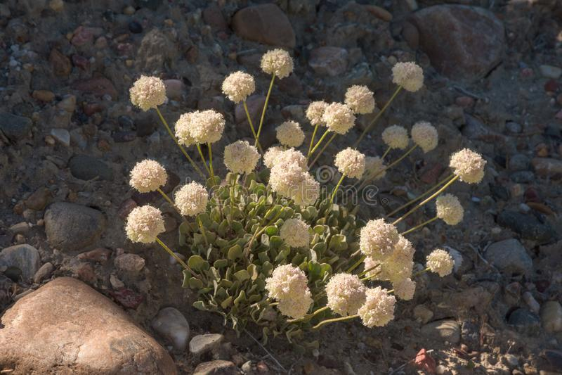 坐垫荞麦Eriogonum ovalifolium苍白-桃红色-白色野花 免版税库存照片