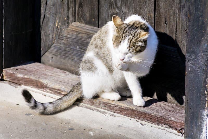 坐太阳和舔她的爪子的白色猫 图库摄影