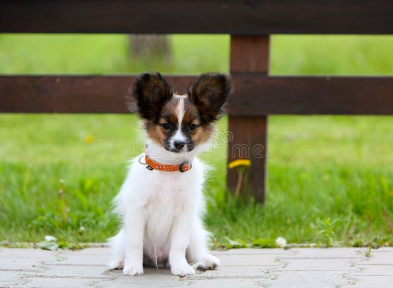 坐小白色蓬松的小狗外面 在绿草背景的一条狗  免版税库存图片