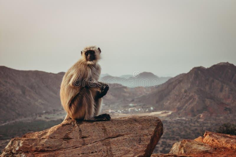 坐岩石和注视与山的长臂猿猴子在普斯赫卡尔,印度 库存照片
