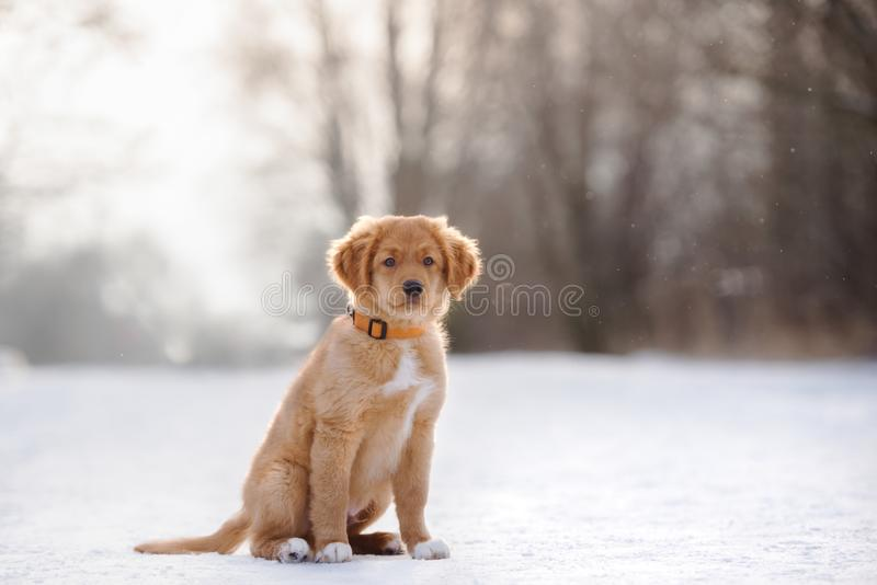坐户外在冬天的鸣钟人小狗 免版税图库摄影