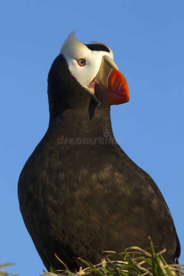 坐有它的头的一个小丘装缨球海鹦的画象 图库摄影