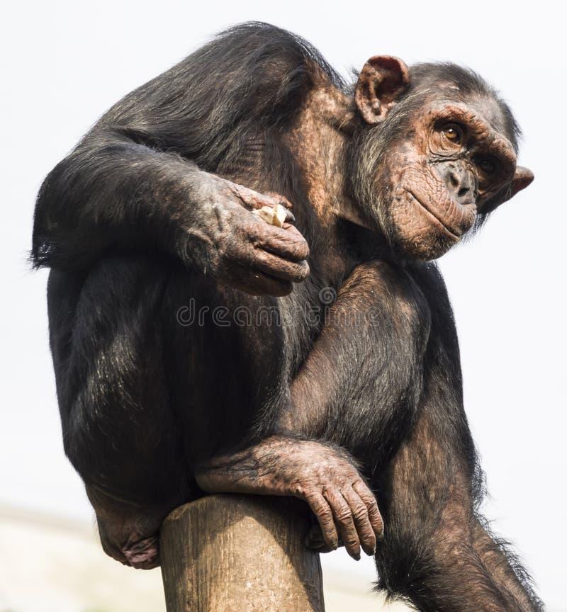 坐树桩和调查距离的黑猩猩 奶油被装载的饼干 免版税库存照片