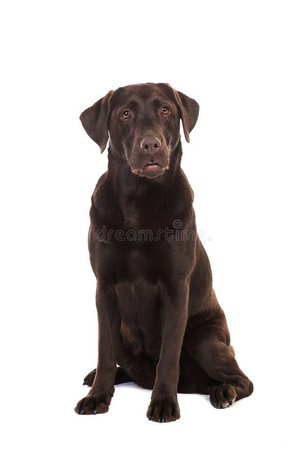 坐母褐巧克力色拉布拉多猎犬的狗看su 免版税库存图片