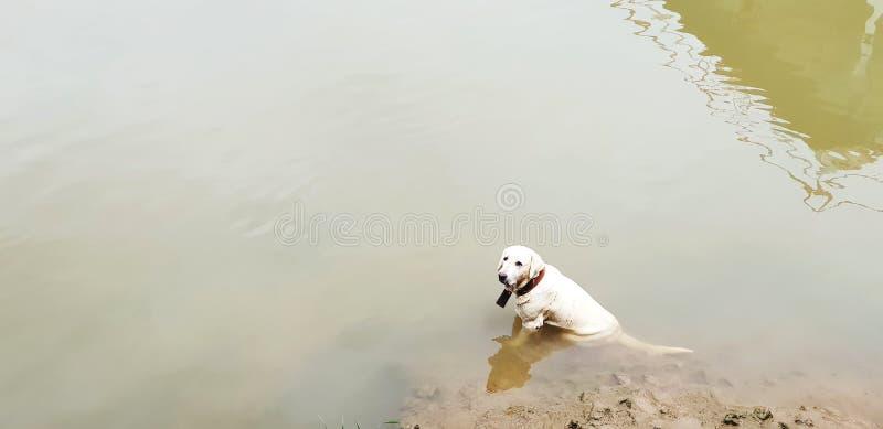 坐河或湖和看某事的逗人喜爱的金毛猎犬狗 免版税库存照片