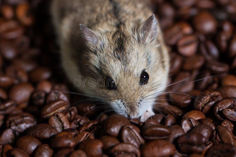 坐沿着咖啡豆的逗人喜爱的小的老鼠 免版税图库摄影