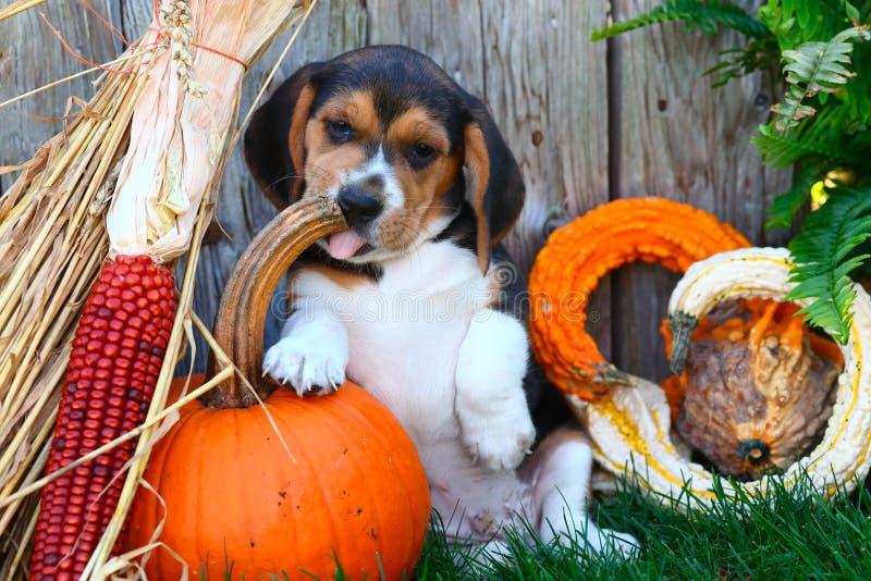 坐用南瓜、金瓜和其他秋天装饰的小猎犬小狗 免版税库存图片