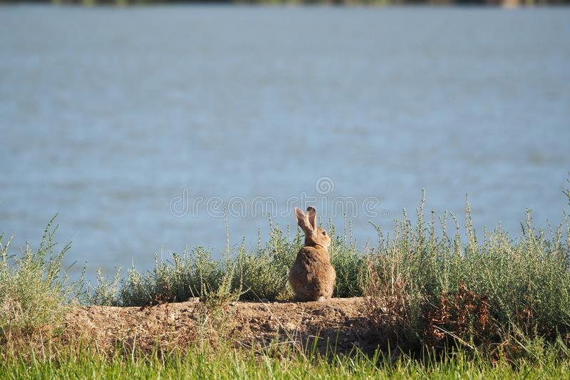 坐的兔子看湖,读了 免版税库存图片