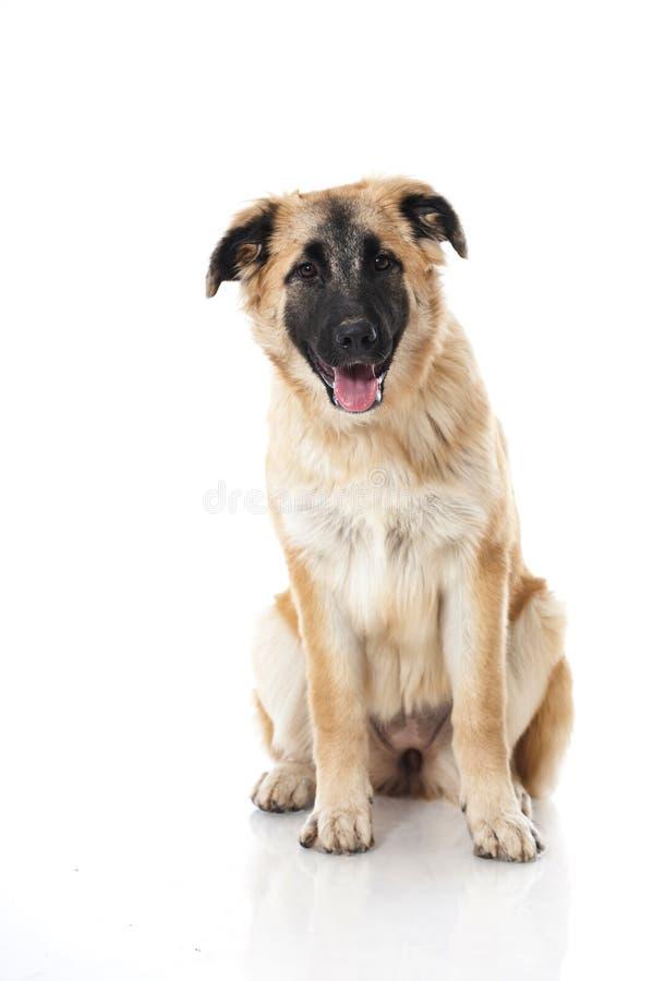 坐的小狗 免版税库存图片