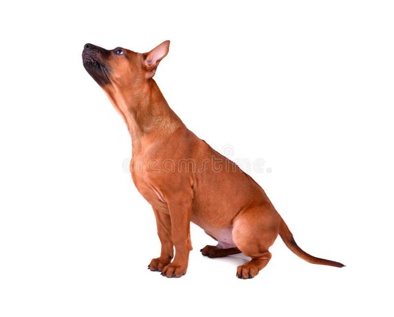 坐的泰国Ridgeback小狗 库存图片
