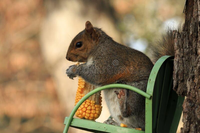 坐的灰鼠 免版税库存图片