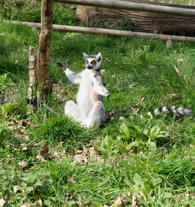 坐的狐猴 免版税图库摄影
