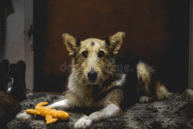 坐的狗的惊人的画象在地毯的 库存图片