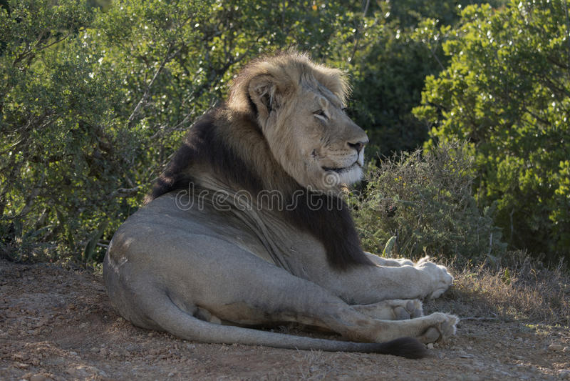 坐的狮子 库存图片