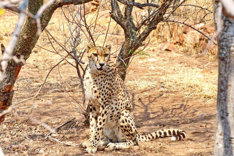 坐的猎豹 免版税图库摄影