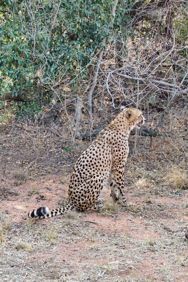 坐的猎豹 库存图片