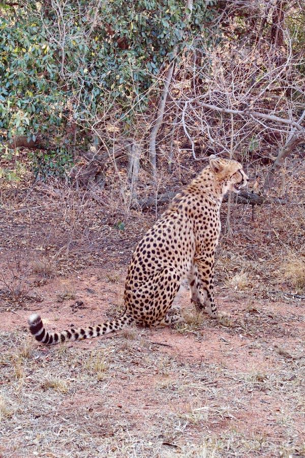 坐的猎豹 库存照片