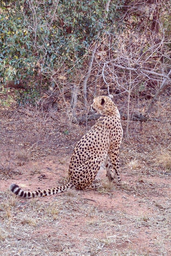 坐的猎豹 免版税库存照片