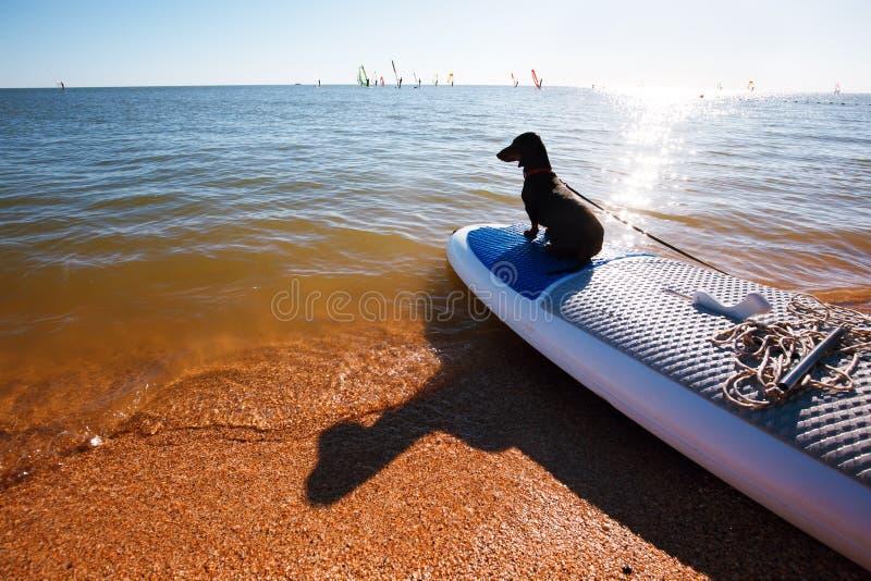 坐的达克斯猎犬风帆冲浪委员会在海滩 逗人喜爱的黑小狗是爱恋的海浪 免版税库存图片