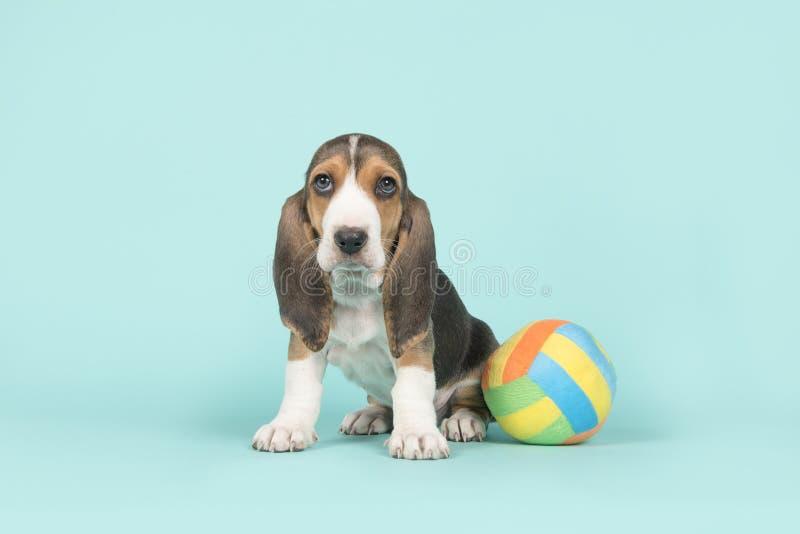 坐的露头artesien与一个多色的玩具球的normand小狗在蓝色背景 免版税库存照片