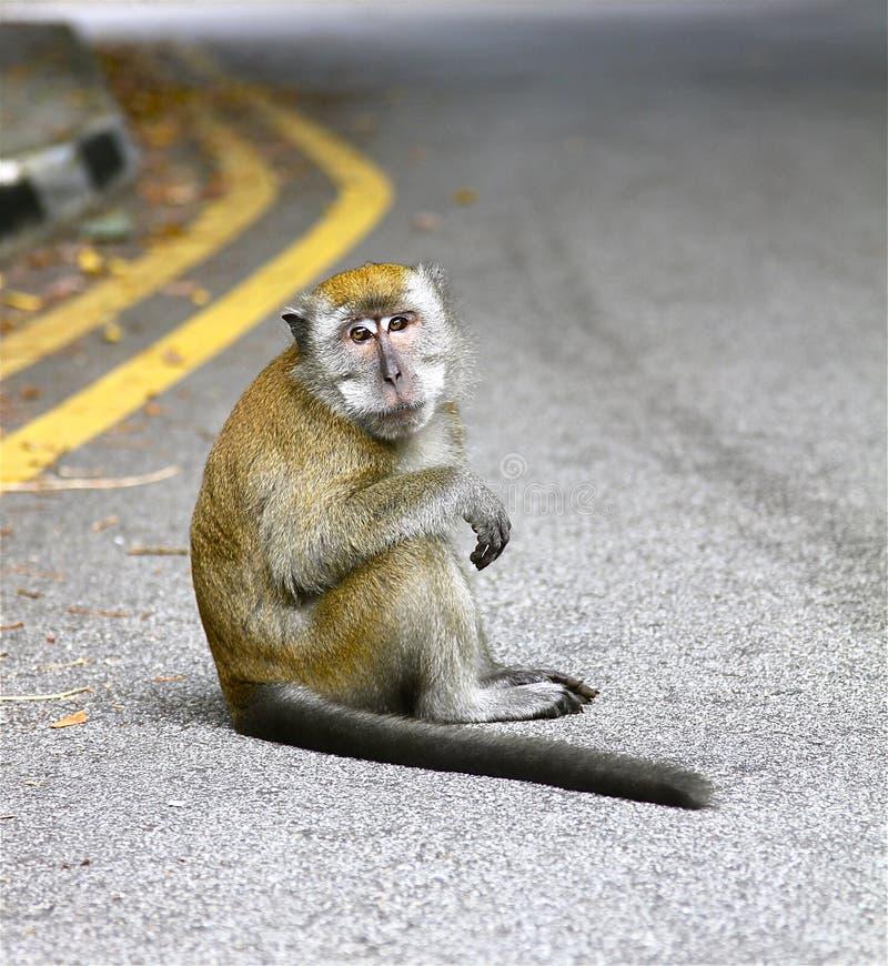 坐的猴子 免版税库存图片
