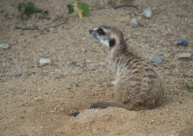 坐的meerkat或suricate,海岛猫鼬类suricatta外形侧视图,选择聚焦,拷贝空间接近的画象为 图库摄影
