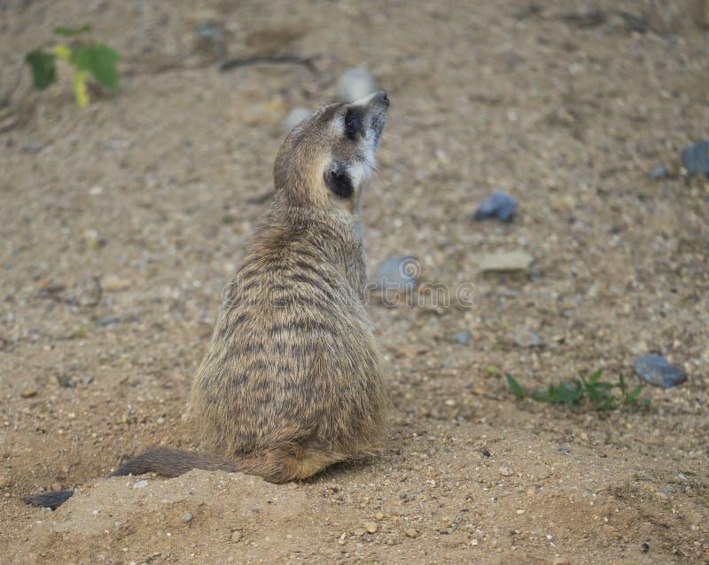 坐的meerkat或suricate,海岛猫鼬类suricatta外形侧视图,选择聚焦,拷贝空间接近的画象为 免版税库存照片