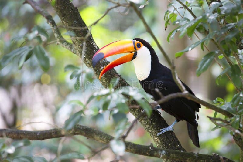 坐的toucan结构树 免版税库存图片
