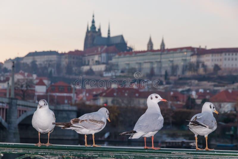 坐砖边界,摆在和看往照相机的四只鸽子 库存图片