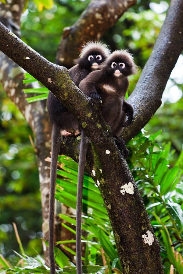 坐结构树的暗淡的叶子猴子 库存图片