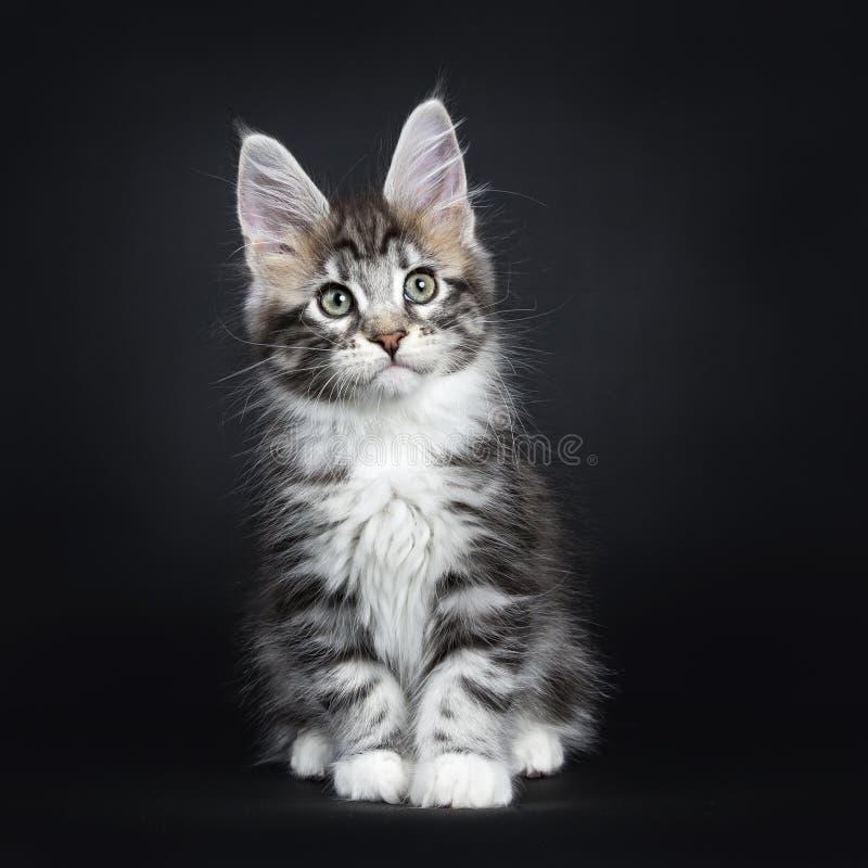 坐银色平纹缅因浣熊的小猫直接 库存照片