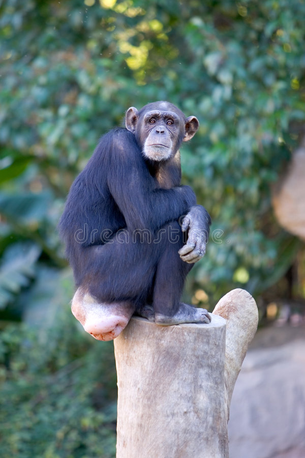 坐顶部树干的大孤独的猴子 图库摄影