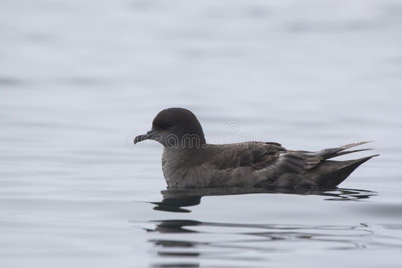 坐水有雾的阴云密布的短被盯梢的海燕 免版税图库摄影