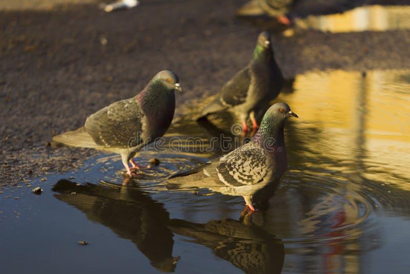 Download 从水坑的鸽子饮用水,阳光 库存图片. 图片 包括有 粉红色, 动物区系, 立场, 本质, 灰色, 鸽子, browne - 72361367