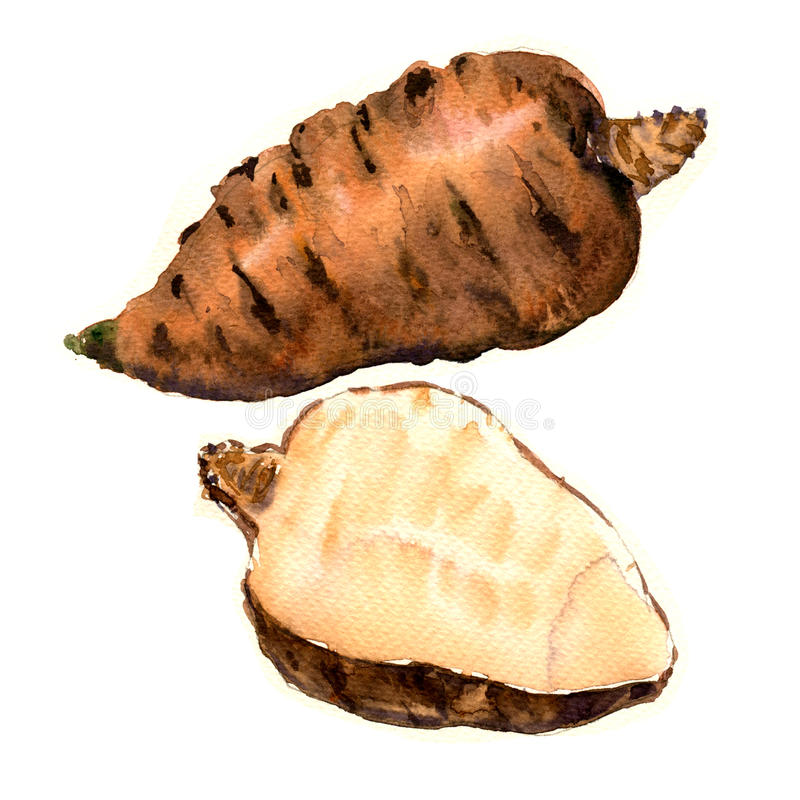 块茎根源的山罗卜,窃衣cerefolium,庭院山罗卜,被隔绝的法国荷兰芹,水彩例证 向量例证