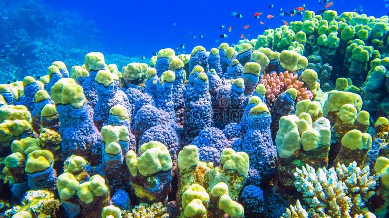 坚硬珊瑚和小鱼在红海 埃及 库存照片