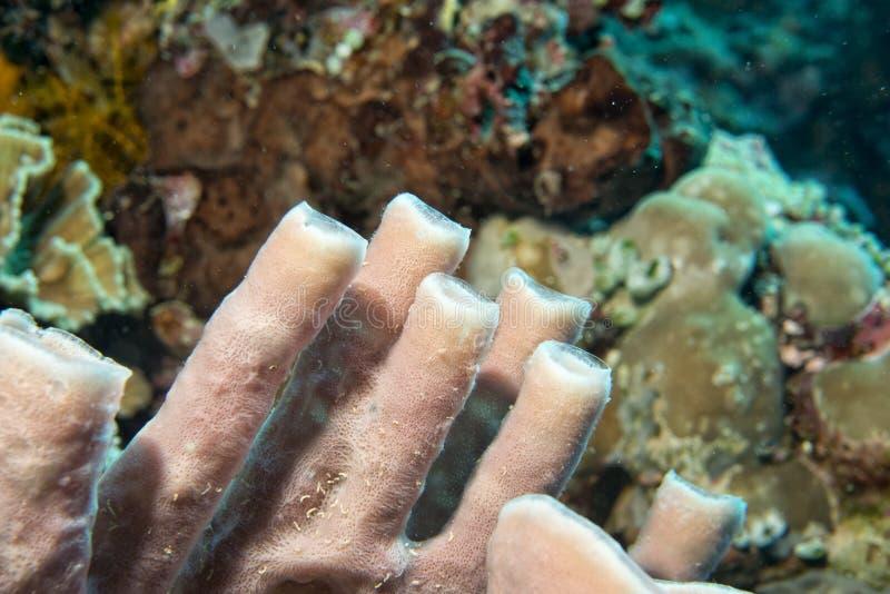 坚硬珊瑚宏观细节,当潜水在印度尼西亚时 库存图片