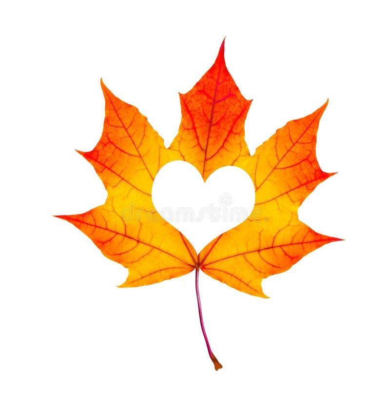 坠入爱河照片隐喻 有心形的红槭叶子是 库存照片