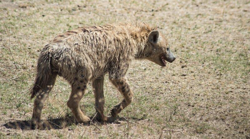 坦桑尼亚恩戈龙戈罗国家公园希耶纳 库存照片