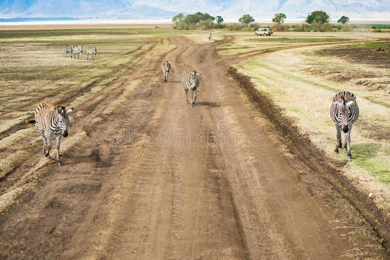 坦桑尼亚恩戈龙戈罗国家公园的青斑马 免版税库存照片
